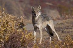 Loup d'automne à pleine vue Photos stock