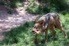 Loup d'ibérien de mâle adulte photos stock