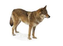 Loup d'isolement sur le fond blanc Photographie stock libre de droits