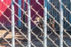 Loup dans la cage au zoo image stock