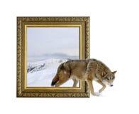 Loup dans le cadre avec l'effet 3d Photographie stock libre de droits