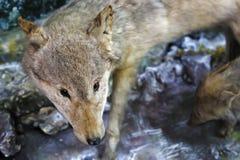 Loup dans le sauvage images stock