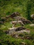 Loup dans les bois Photo libre de droits