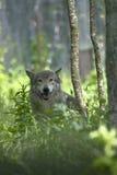 Loup de bois de construction Photographie stock