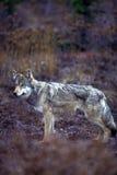 Loup de bois de construction dans des couleurs de chute (lupus de Canis), Alaska, Denali Nationa Images stock