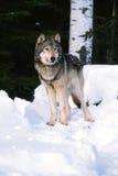 Loup de bois de construction dans la neige Photo stock