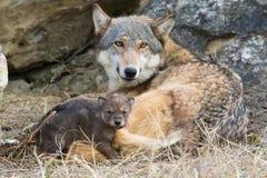 Loup de bois de construction de mère et de chiot Photos stock