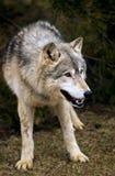 Loup de bois de construction de penchement (lupus de Canis) Images libres de droits