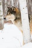 Loup de bois de construction de regard intense images libres de droits