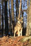 Loup de bois de construction ensoleillé de beau matin Image libre de droits