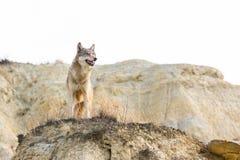 Loup de bois de construction femelle sur le rebord de montagne Image stock