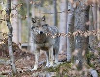 Loup de bois de construction (lupus de Canis) Photographie stock libre de droits