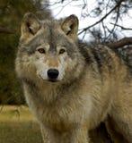 Loup de bois de construction (lupus de Canis) - grand dos Image stock