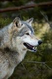 Loup de bois de construction (lupus de Canis) - profil - fond d'arbre Photos stock