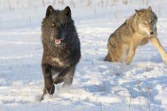 Loup de bois de construction noir image libre de droits