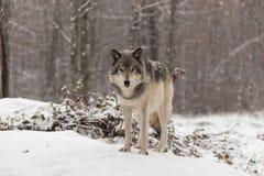 Loup de bois de construction solitaire dans une scène d'hiver photo stock