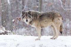 Loup de bois de construction solitaire dans une scène d'hiver photographie stock