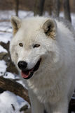loup de l'Arctique vi Images libres de droits