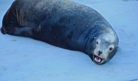 Loup de mer 2 Photo libre de droits