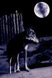 Loup de nuit Image libre de droits