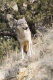 Loup de regard intense dans le printemps images stock