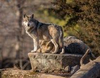 Loup de regarder au zoo de Brookfield photos stock