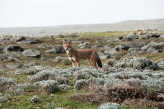 Loup de Simien Photos stock