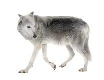 loup de vallée d'occidentalis de mackenzie de lupus de canis Photographie stock libre de droits