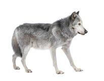 Loup de vallée de Mackenzie (8 ans) Photos stock