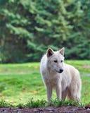 Loup debout Photo libre de droits