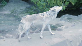 Loup du nord blanc hurlant près de la maison humaine banque de vidéos