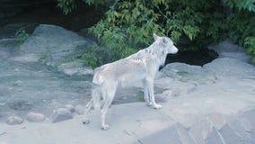 Loup du nord blanc hurlant près de la maison humaine clips vidéos