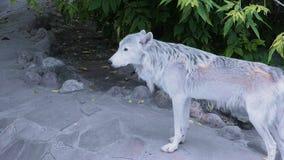 Loup du nord blanc près de maison humaine banque de vidéos