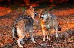 loup effrayé de coucher du soleil Images libres de droits