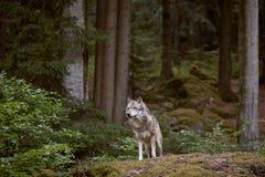 Loup en parc national de Bayerischer Wald l'allemagne Photographie stock