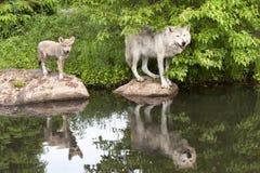 Loup et chiot avec la réflexion claire dans le lac Photos stock