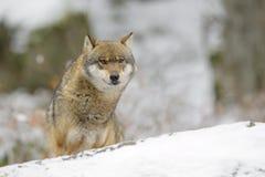 Loup eurasien image libre de droits