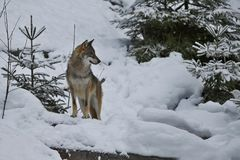 Loup eurasien dans l'habitat blanc d'hiver, belle forêt d'hiver Image libre de droits