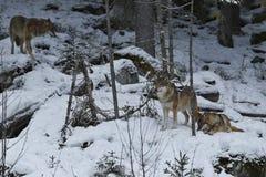 Loup eurasien dans l'habitat blanc d'hiver, belle forêt d'hiver Photo libre de droits