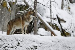 Loup eurasien dans l'habitat blanc d'hiver, belle forêt d'hiver Images stock