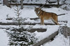 Loup eurasien dans l'habitat blanc d'hiver, belle forêt d'hiver Image stock