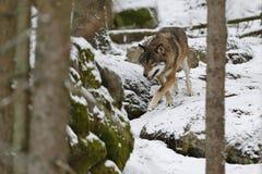Loup eurasien dans l'habitat blanc d'hiver, belle forêt d'hiver Photos libres de droits