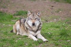 Loup européen Images stock
