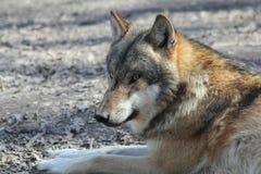 Loup européen Photos stock