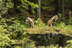 Loup européen, loup d'Europaeischer, lupus de Canis, loup, RÉPUBLIQUE TCHÈQUE photo stock