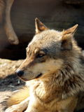 Loup européen - lupus de lupus de Canis Image stock