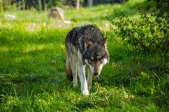 Loup européen rôdant photographie stock