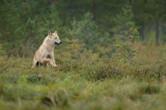 Loup européen sauvage Photos libres de droits