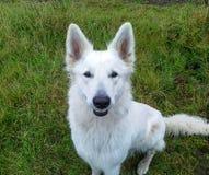 Loup femelle blanc souriant dans l'appareil-photo image libre de droits