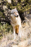 Loup femelle semblant intense photo stock